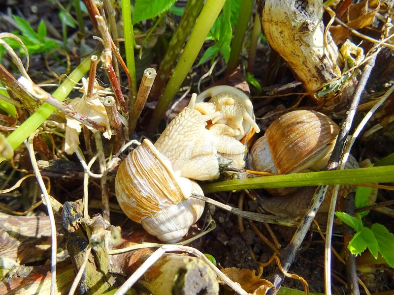 Pomatia adulto de la hélice de tres caracoles en el jardín fotografía de archivo libre de regalías