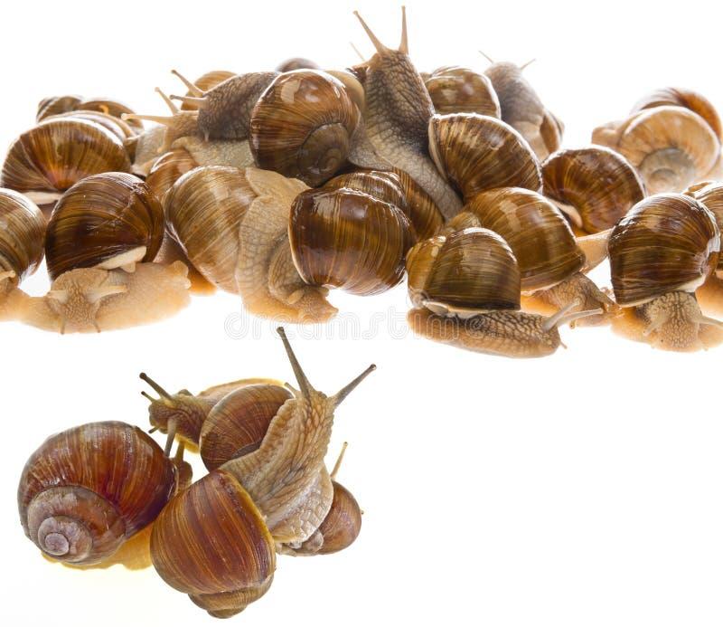 Pomatia d'hélice d'escargot - escargot de Bourgogne - escargot comestible images stock