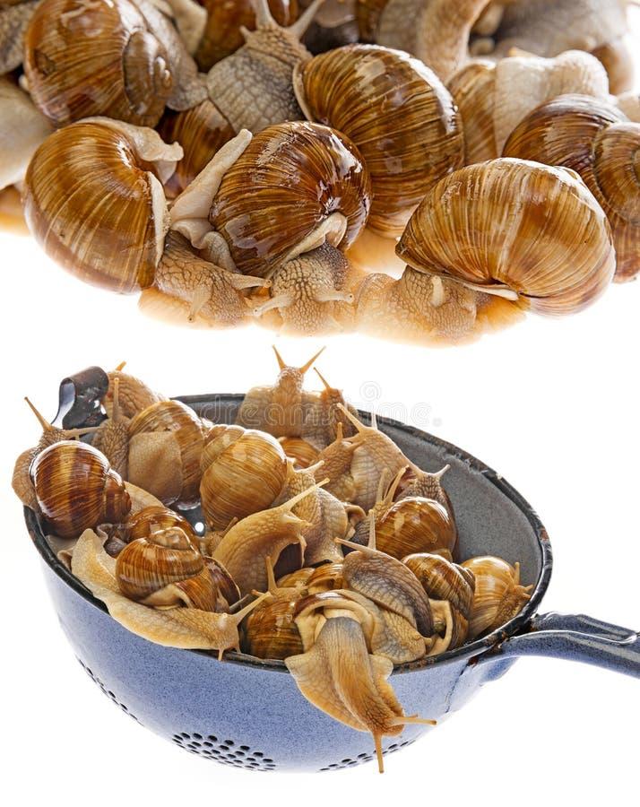 Pomatia d'hélice d'escargot - escargot de Bourgogne - escargot comestible photos libres de droits