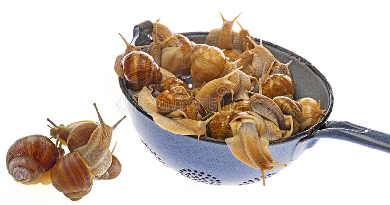 Pomatia d'hélice d'escargot - escargot de Bourgogne - escargot comestible images libres de droits