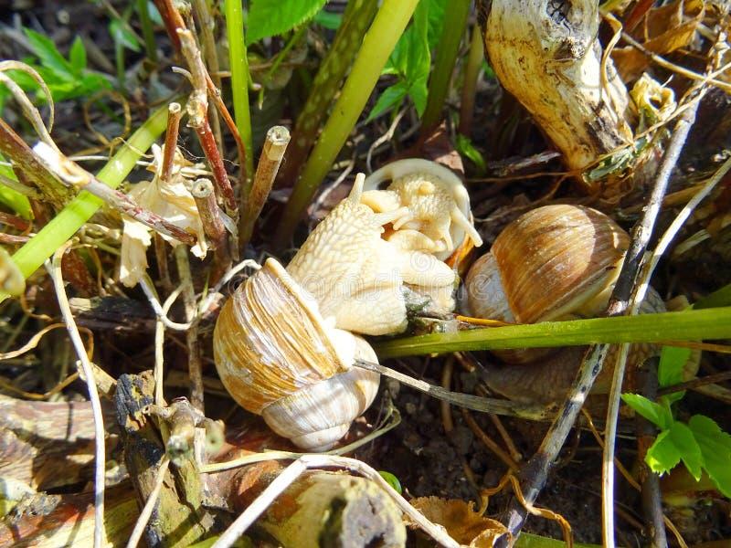 Pomatia van de drie volwassen slakkenschroef in de tuin royalty-vrije stock fotografie