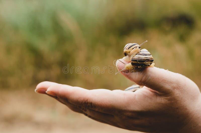 Pomatia van de slakkenschroef op de palm van een vrouwenkweker Macro Het schieten op oogniveau stock foto's