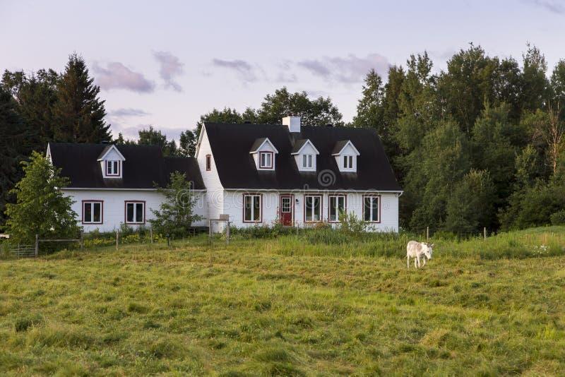 Pomba bonito cinzenta e asno branco de Contentin que anda no campo durante uma manhã do início do verão fotos de stock royalty free