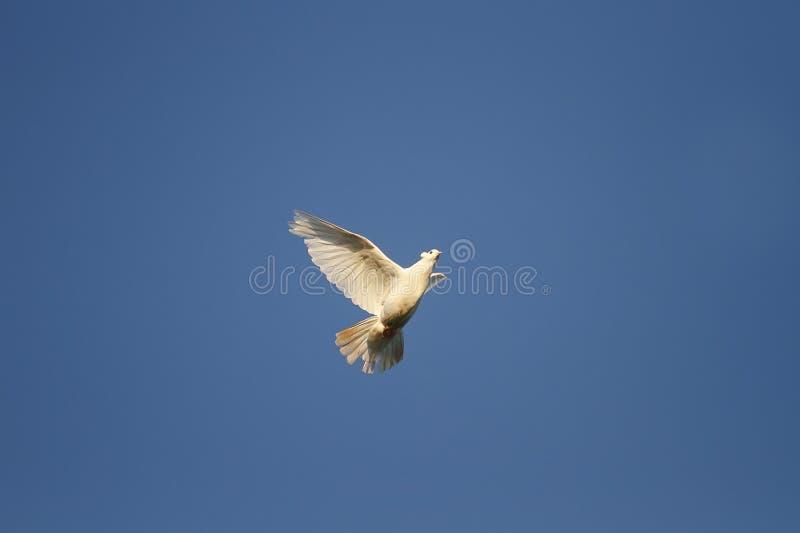 A pomba branca do pássaro voa altamente no céu fotografia de stock royalty free