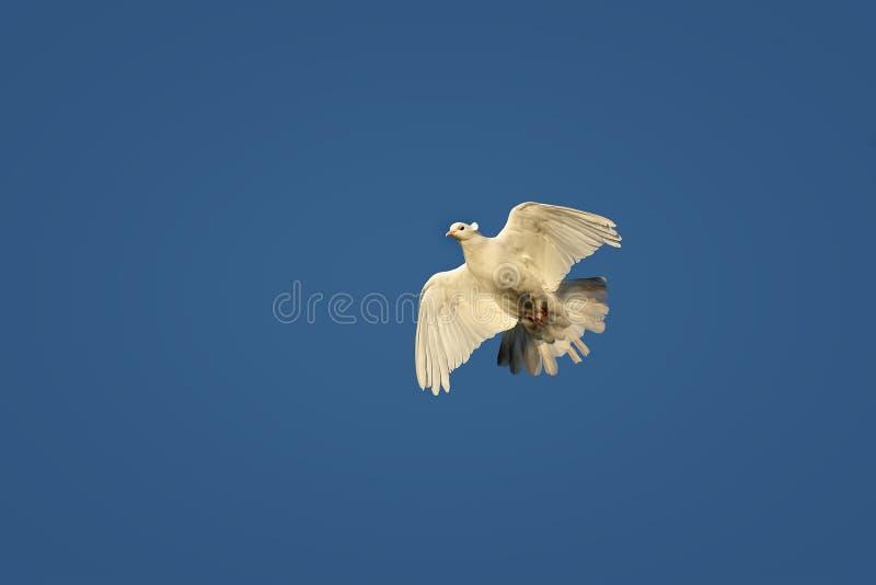 A pomba branca do pássaro voa altamente no céu fotos de stock royalty free