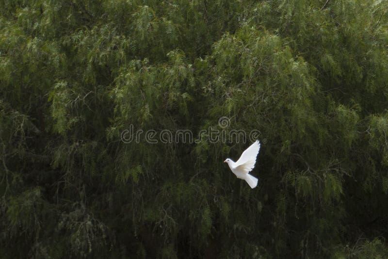 Pomba branca do voo foto de stock royalty free