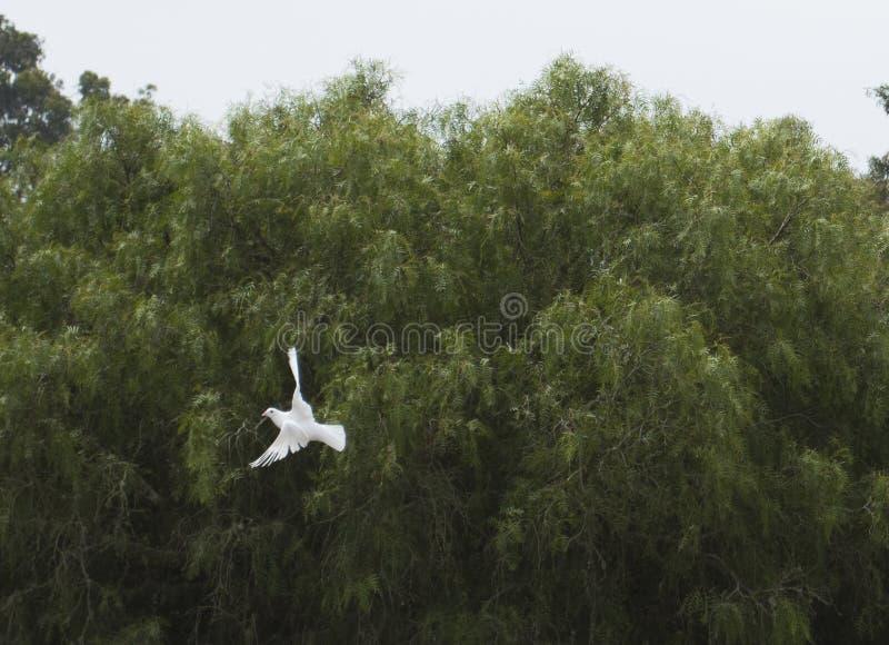 Pomba branca 2 do voo imagem de stock royalty free