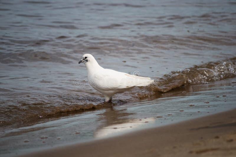 Pomba branca na água pelo rio foto de stock royalty free
