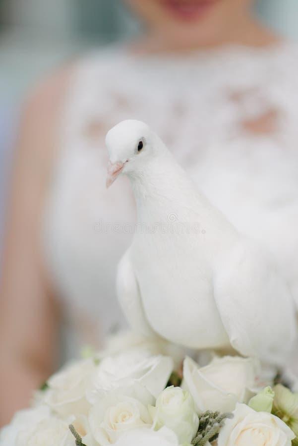 Pomba branca nas m?os da noiva A noiva guarda uma pomba branca em suas mãos imagem de stock royalty free
