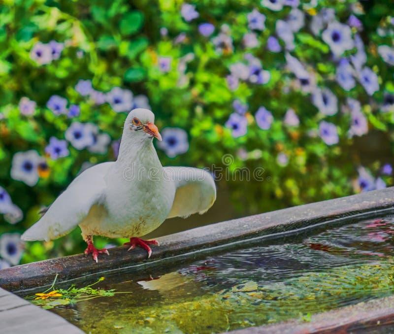 Pomba branca numa bacia de água antiga espalha suas asas para decolar para o voo imagens de stock