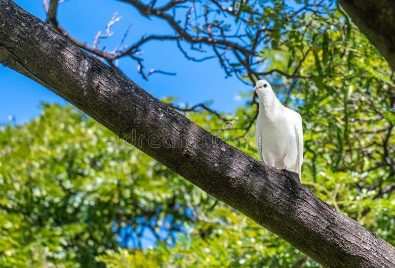 Pomba branca vista no selvagem em Oahu, Havaí imagens de stock