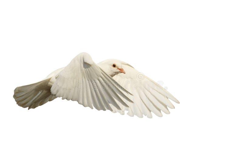 A pomba branca voa com o vento isolado no branco fotos de stock royalty free