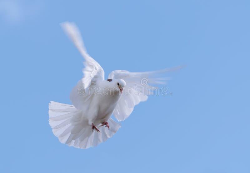 Pomba de voo do branco imagem de stock royalty free