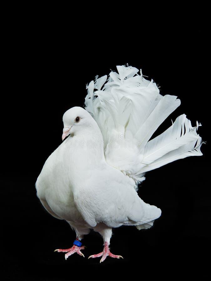 Pomba decorativa branca bonita foto de stock royalty free