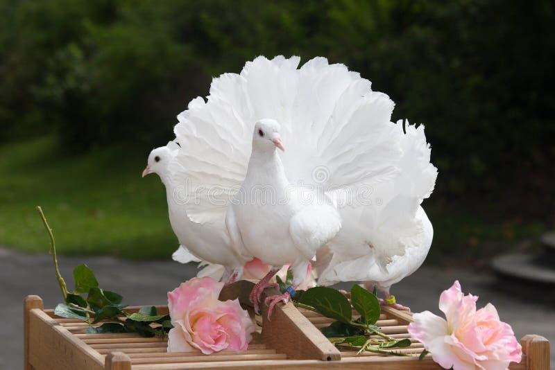 Pomba do branco - casamento imagens de stock royalty free
