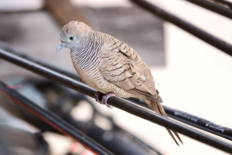 Pomba do pássaro no close-up da linha elétrica fotografia de stock royalty free
