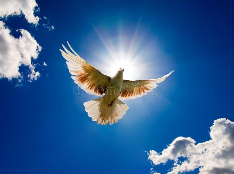 A pomba no ar com as asas largas abre imagem de stock
