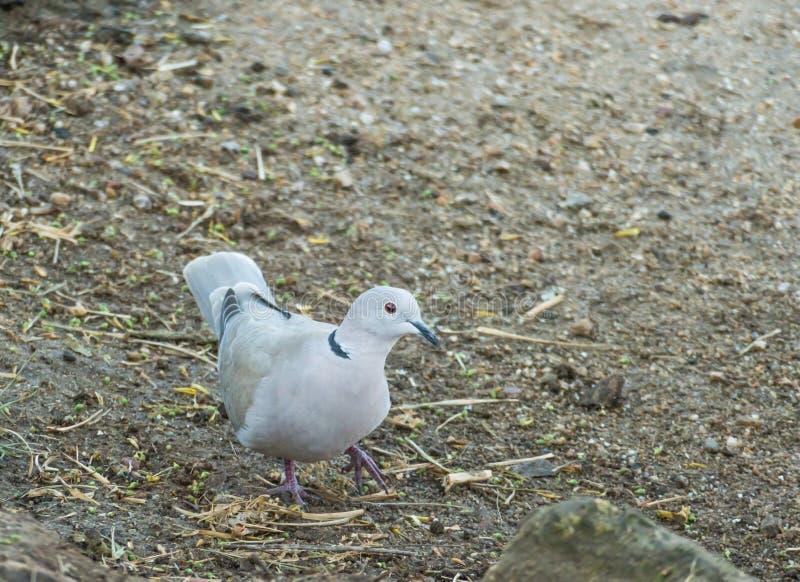 Pomba ou decaocto colocado um colar pássaro do Streptopelia fotografia de stock royalty free
