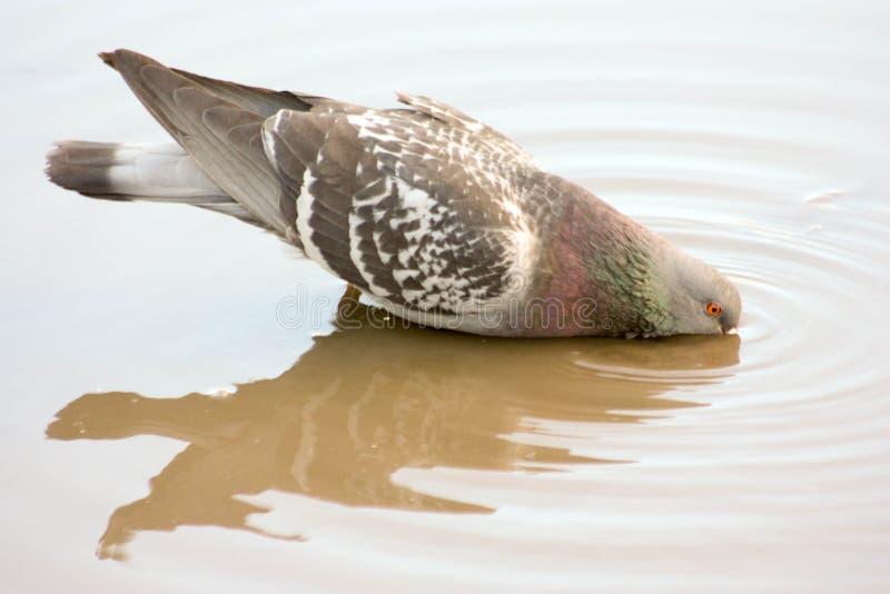 O Pombo Bebe A água Da Poça Imagem de Stock - Imagem de