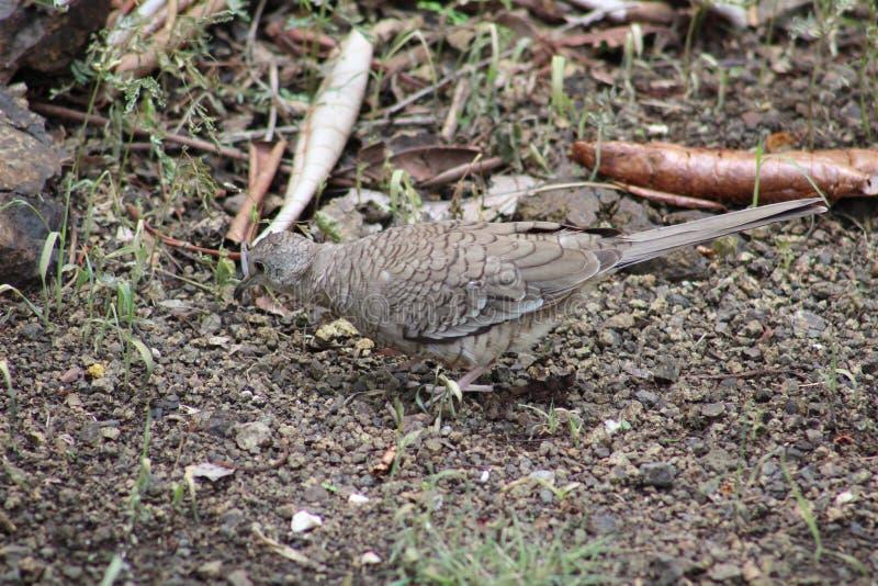 Pomba selvagem em Costa Rica imagens de stock royalty free