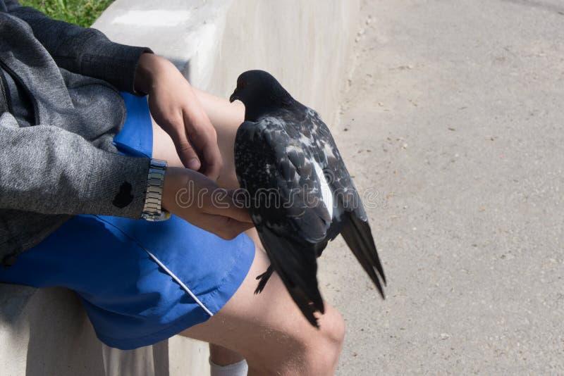 A pomba senta-se no braço do ` s do homem fotografia de stock