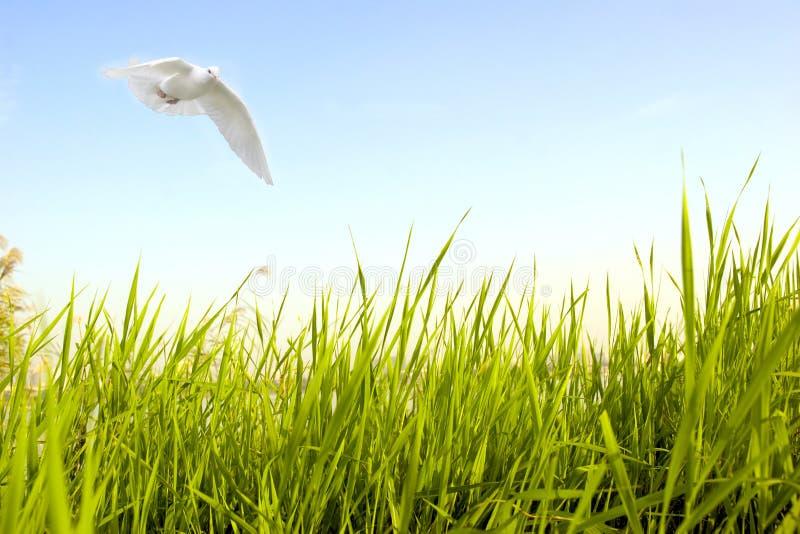 A pomba voa sobre a grama verde fotografia de stock