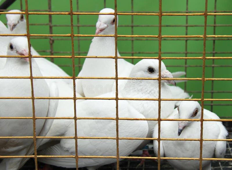 Pombas Imagens de Stock
