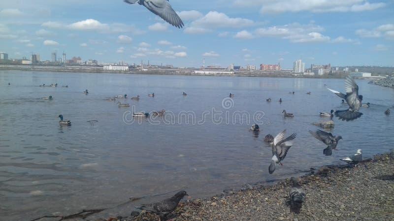 Pombas do voo acima do rio fotos de stock