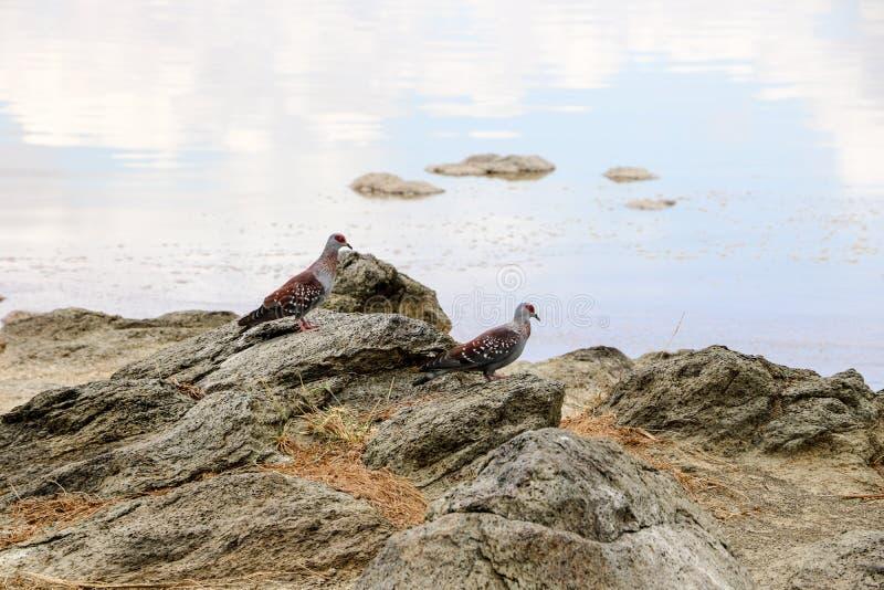 pombas em uma costa do lago fotos de stock