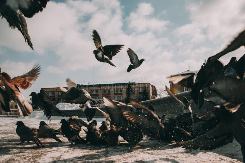 Pombas preto e branco de voo em um fundo do céu azul fotografia de stock royalty free