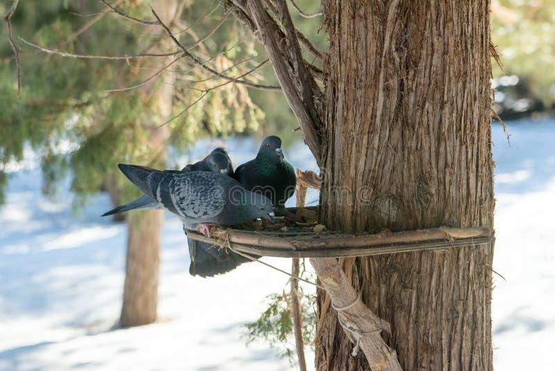 Pombas que sentam-se no alimentador do pássaro na árvore no parque Os pássaros alimentam da calha Pássaros de alimentação no inve foto de stock royalty free