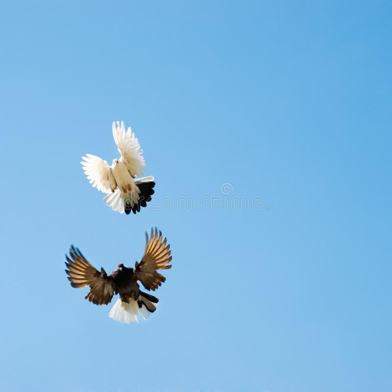 Pombas que voam no céu imagem de stock royalty free