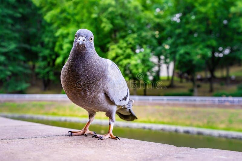 Pombo cinzento curioso no fundo borrado fotografia de stock