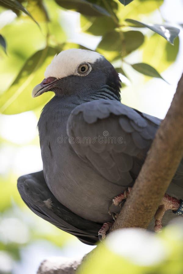 Pombo coroado branco protegido na opinião do retrato foto de stock