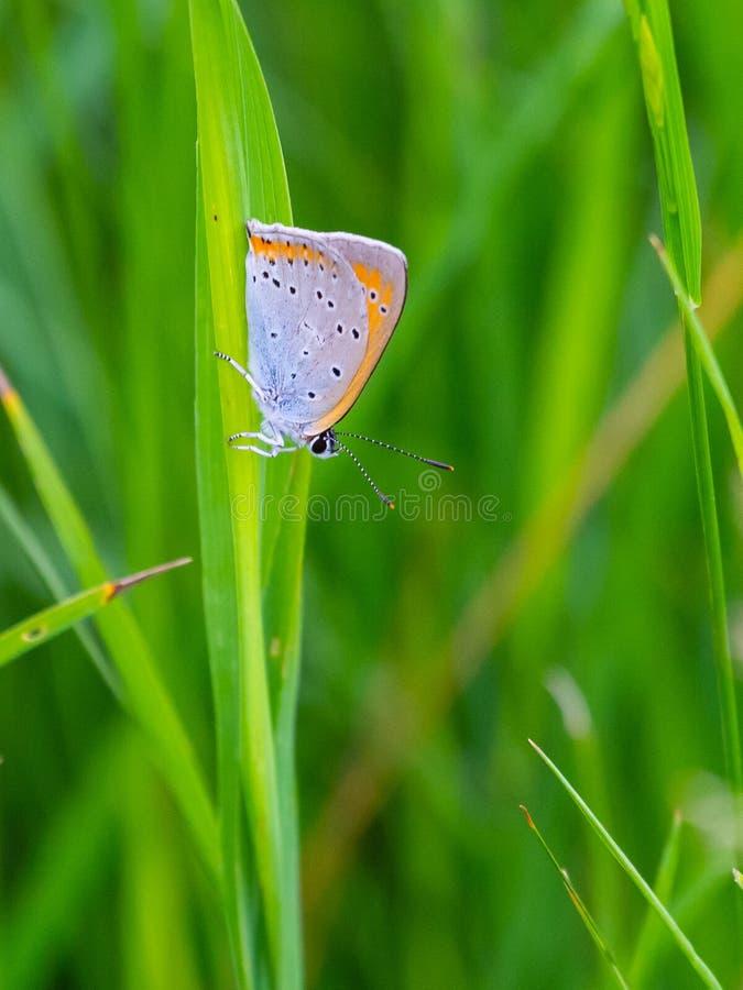 Pombo da borboleta na vagem, ver?o Daphnis de Meleageria imagens de stock royalty free