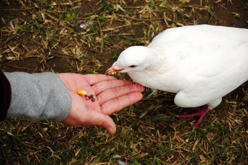 Pombo De Alimentação Fotografia de Stock