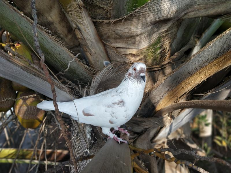 Pombo de Whiye na árvore de coco fotos de stock