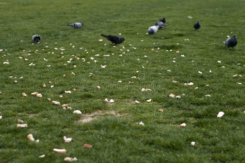 Pombo e alimento na área da grama verde foto de stock