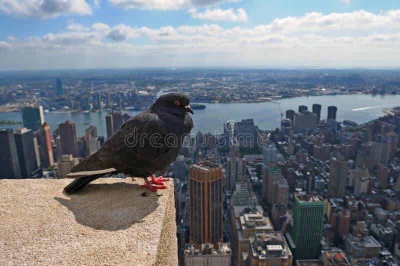 Pombo e New York City imagem de stock royalty free