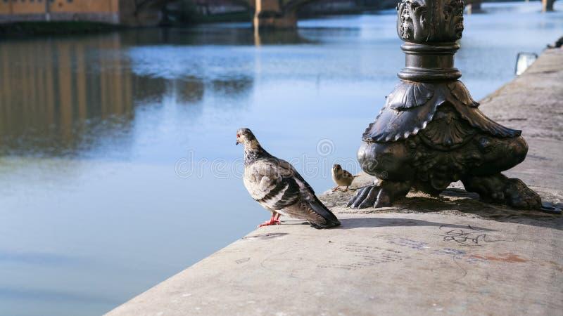 Pombo e pardal no parapeito de Arno River fotos de stock