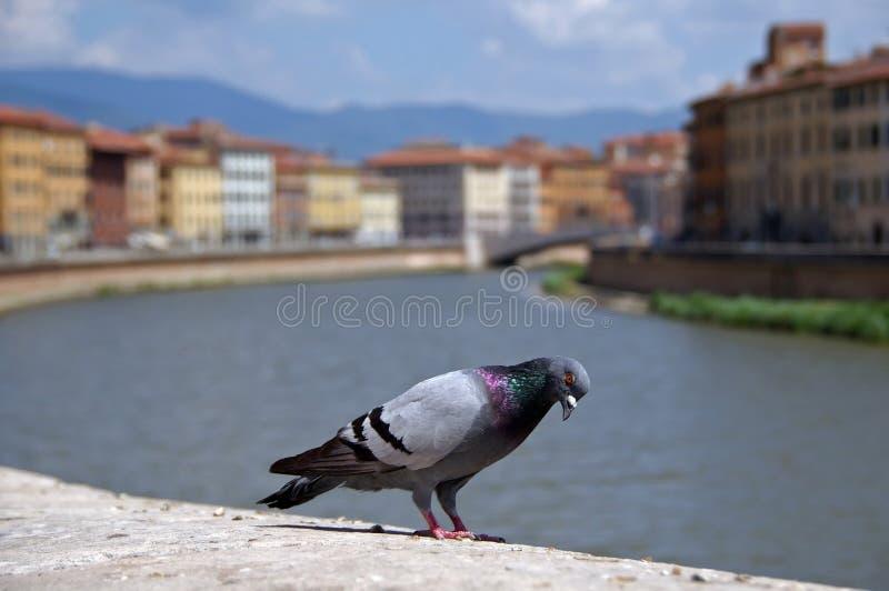 Pombo em Pisa imagem de stock
