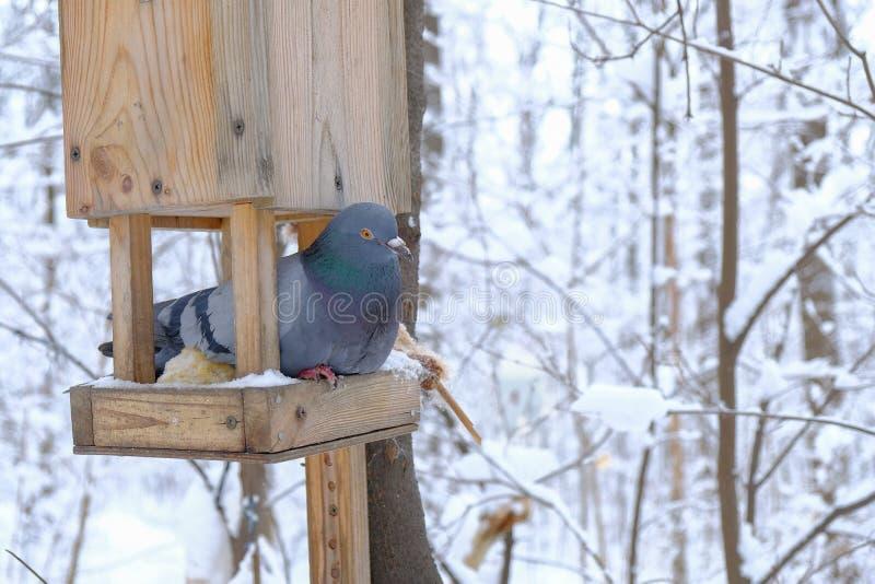 Pombo em uma calha de alimentação no inverno imagens de stock