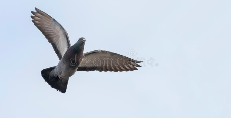 Pombo em voo perto acima, céu azul foto de stock