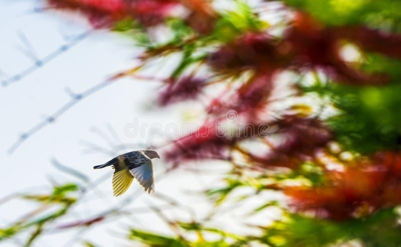 Pombo indiano do Fantail da cor branca em voo imagem de stock
