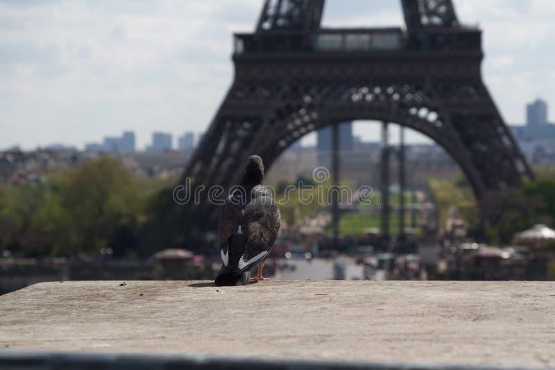 Pombo na borda na frente da torre Eiffel imagem de stock