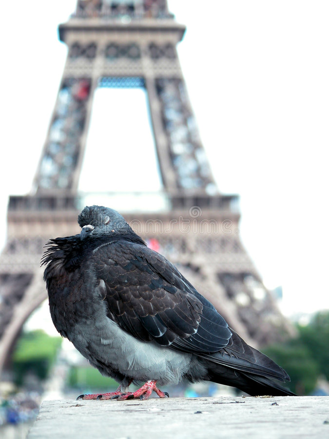 Pombo na torre Eiffel fotos de stock royalty free