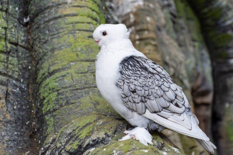 Pombo ou pomba branca conhecido como o pombo oriental do folho uma raça extravagante do pombo doméstico para a exibição e a criaç imagem de stock royalty free