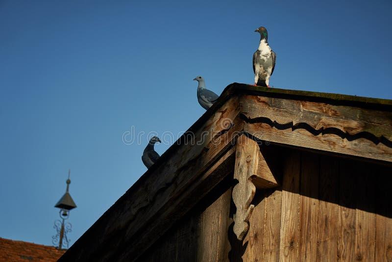 Pombo ou pomba em telhados fotos de stock