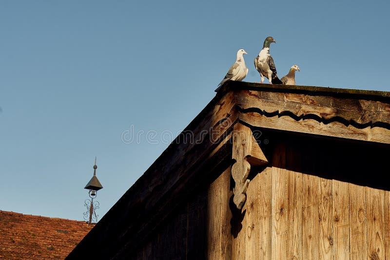 Pombo ou pomba em telhados foto de stock royalty free