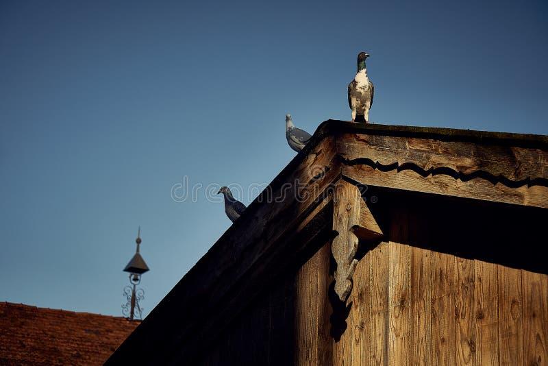 Pombo ou pomba em telhados fotografia de stock